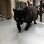 En katt som går på en motorhuv. I allmänhet kan man säga att Istanbul-bornas relation till katter inte var riktigt hälsosam. Här och var i stadsbilden fanns det små kattkojor.