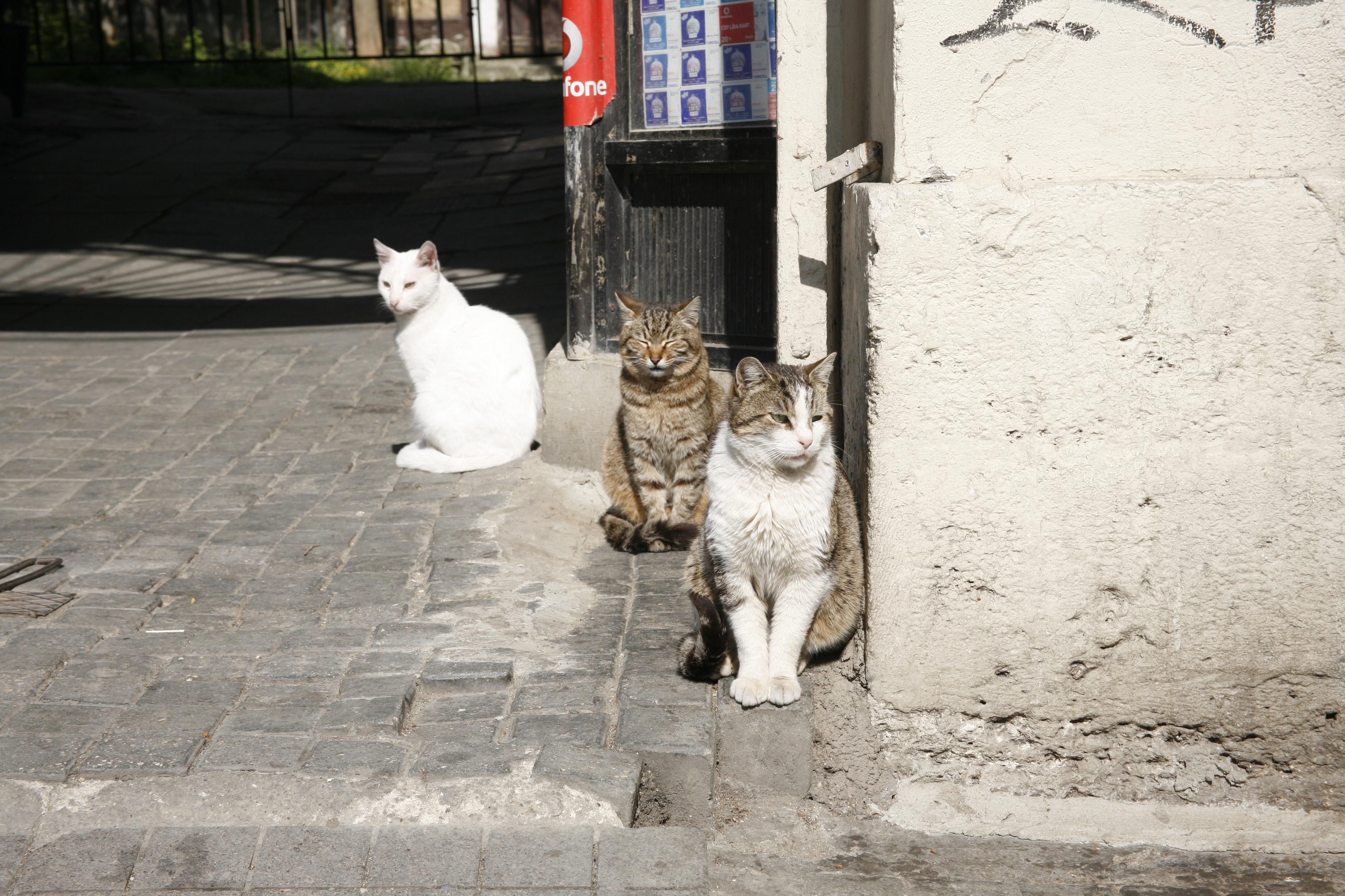 Katter, turkiska sådana.